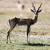 Texas-Blackbuck-Hunts